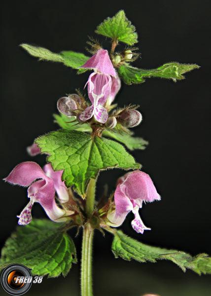 Galéopsis bifide_Dauphiné