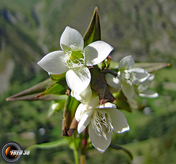 Gentiane cillié blanche2_Ecrins