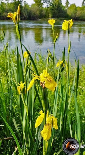 Iris-des-marais_Dauphiné