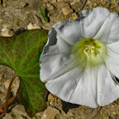Liseron blanc_Dauphiné
