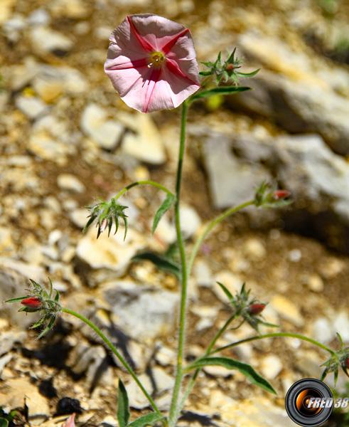 Liseron des monts Cantabre_Hte-Provence