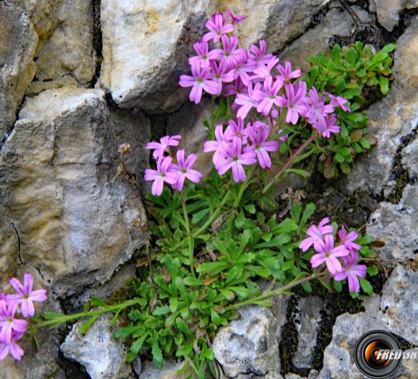 Mandeline des Alpes_Chartreuse