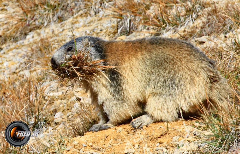 Marmottes fanant en Vanoise