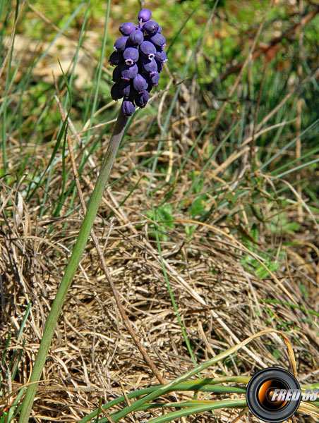 Muscari botryoide_Dauphiné