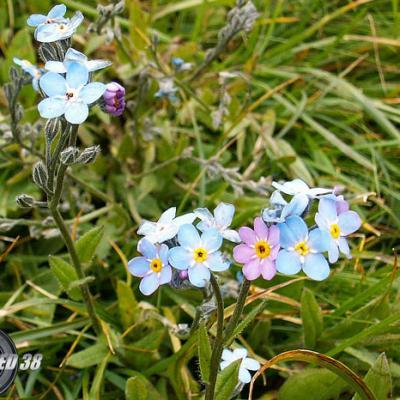 Myosotis des Alpes_Diois