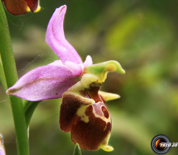 Ophrys bourdon3_Dauphiné