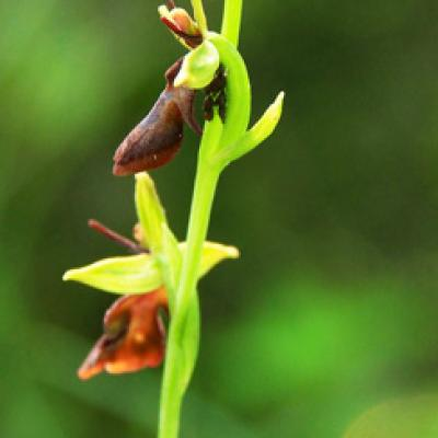 Ophrys mouche_Bauges
