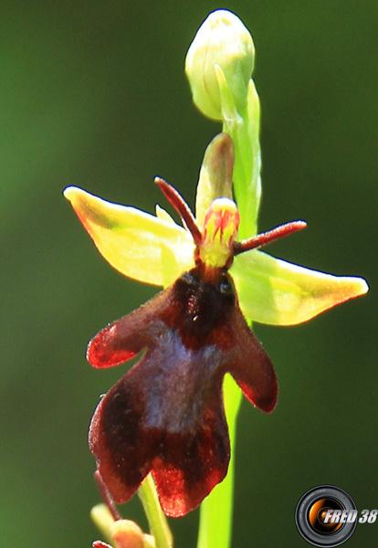 Ophrys mouche3_Bauges