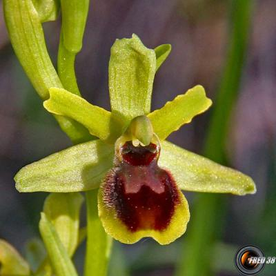 Ophrys petite-araignée1_Baronnies