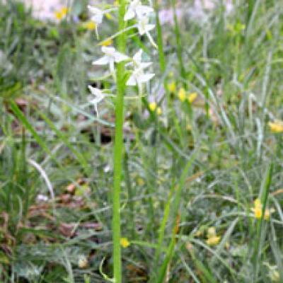Orchis à deux feuilles2_Vercors