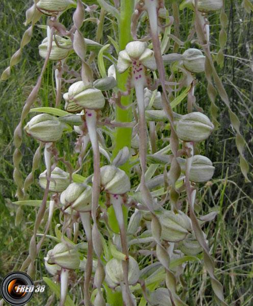 Orchis bouc2_Dauphiné