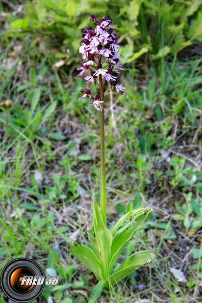 Orchis militaire1_Vercors