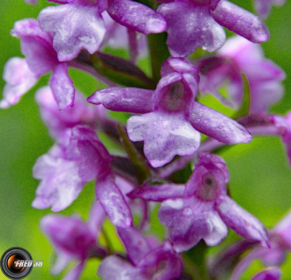 Orchis moustique2_Vercors