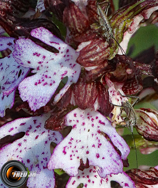 Orchis pourpre_Vercors