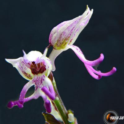 Orchis singe2_Dauphiné