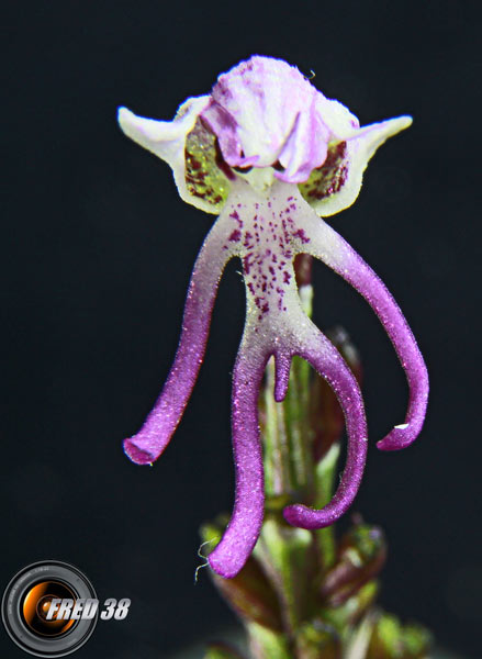 Orchis singe3_Dauphiné