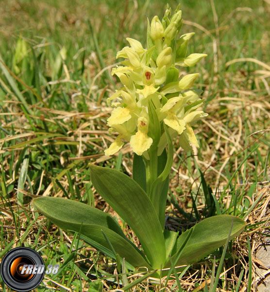 Orchis sureau jaune1_Vercors