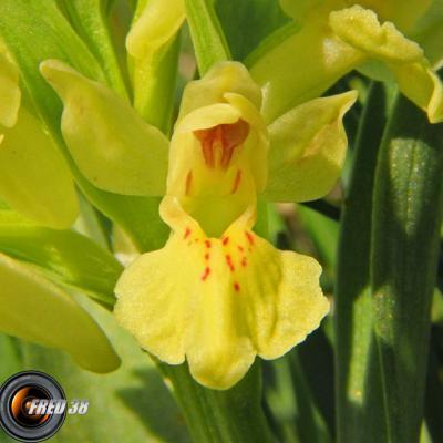 Orchis sureau jaune2_Vercors
