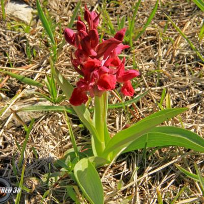 Orchis sureau pourpre1_Vercors
