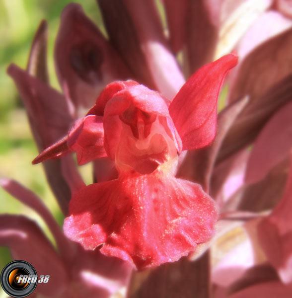 Orchis sureau pourpre2_Vercors