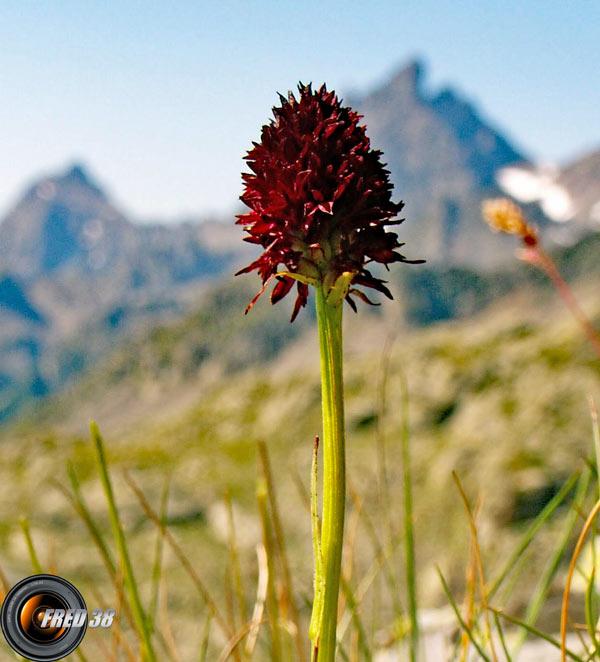 Orchis vanillé_Belledonne