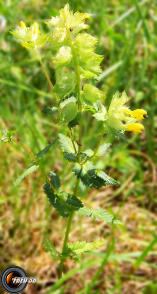 Rhinanthe (petit)1_Vercors