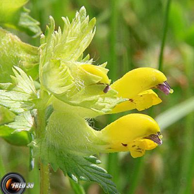 Rhinanthe (petit)2_Vercors