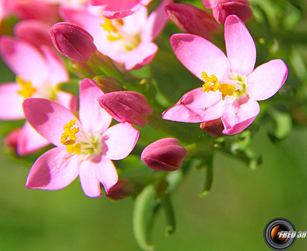 Centaurée rouge (petite)2_Dauphiné