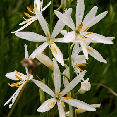 Phalangère à fleur de lys_Chartreuse