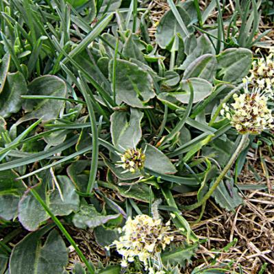 Plantain noiratre1_Dévoluy