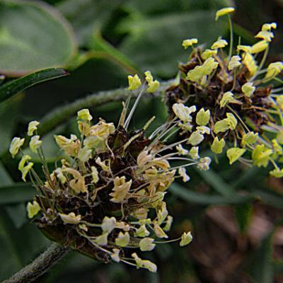 Plantain noiratre2_Dévoluy