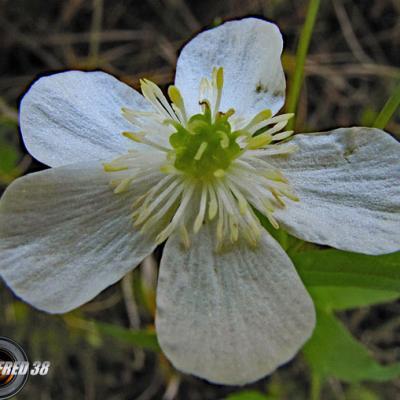 Renoncule à feuilles de platane2-Matheysine