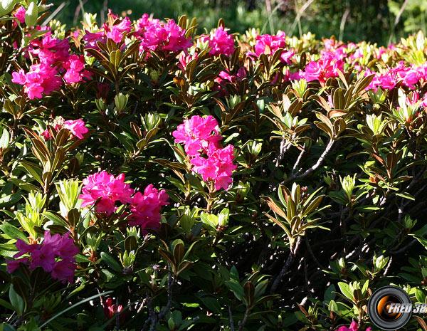 Rhododendrons ferrugineux_Ecrins