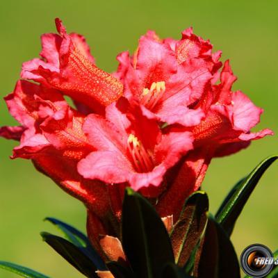 Rhododendrons ferruginéux_Lauzière