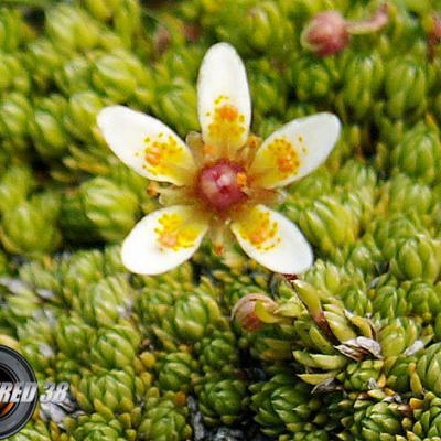 Saxifrage faux bryum_Lauzière