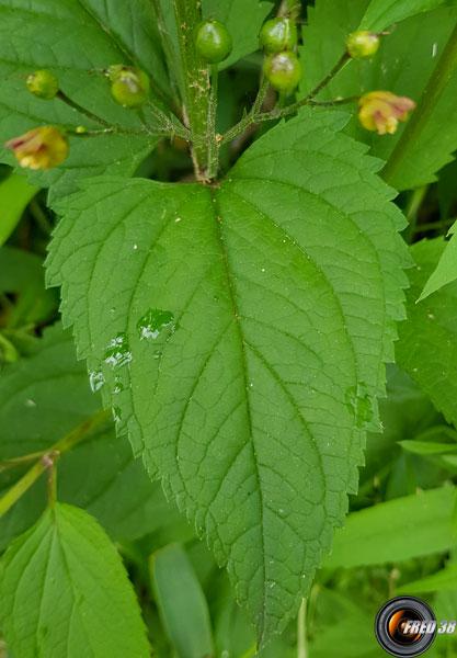 Scrophulaire à feuilles de Germandrée2_Chartreuse