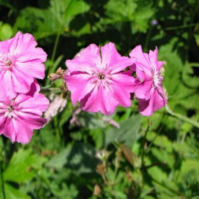 Silène Fleur de Jupiter_Bauges