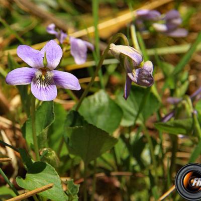 Violette de Thomas_Belledonne