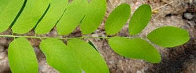 Acacia2