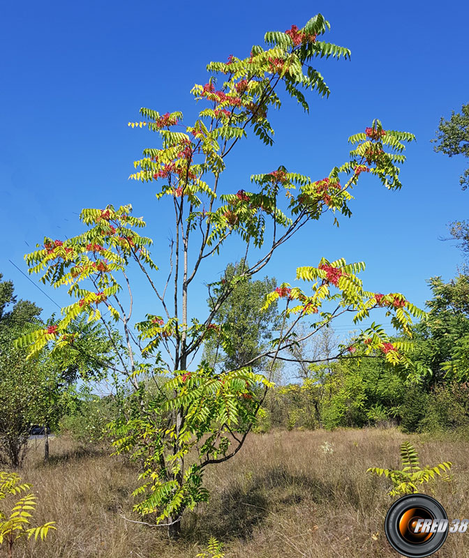 Ailante arbre