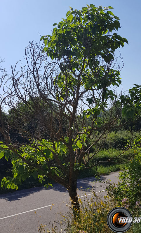 Arbousier arbre