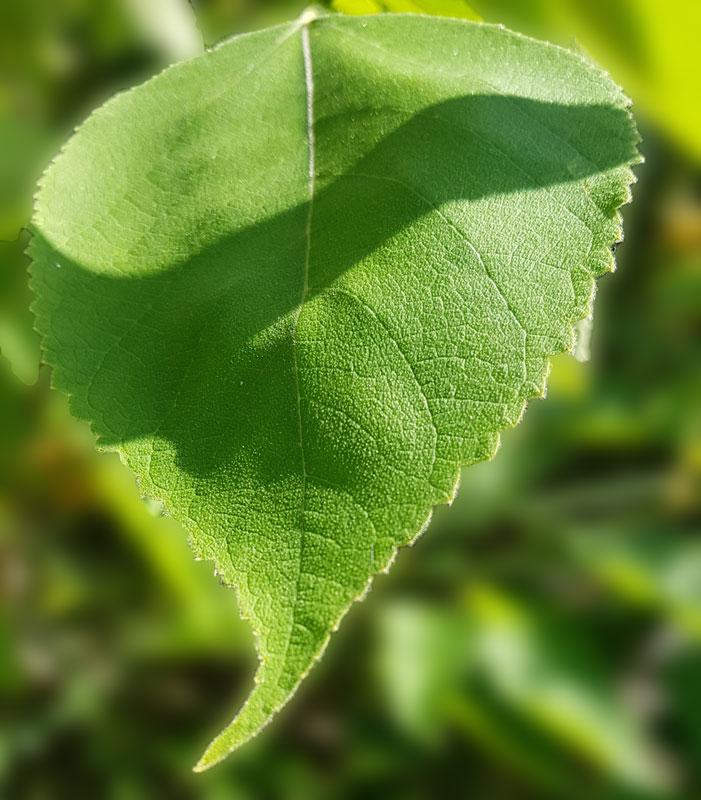 Arbousier feuilles
