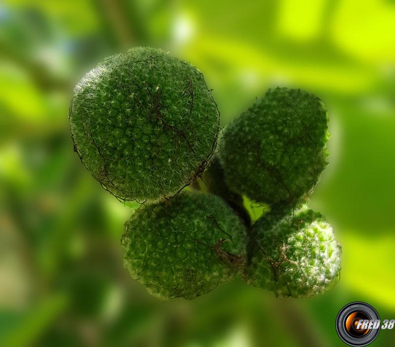 Arbousier fruits