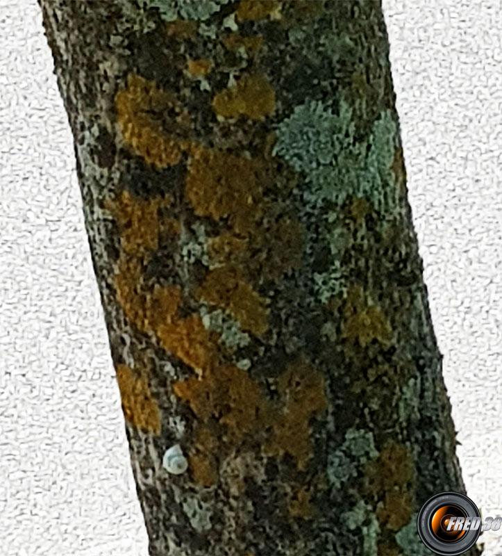 Arbousier tronc