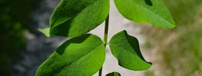 Baguenaudier feuilles