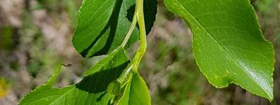 Bois de ste lucie feuilles