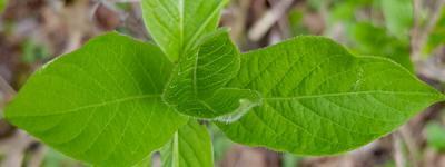 Camerisier des alpes feuilles