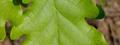 Chene pubescent feuilles