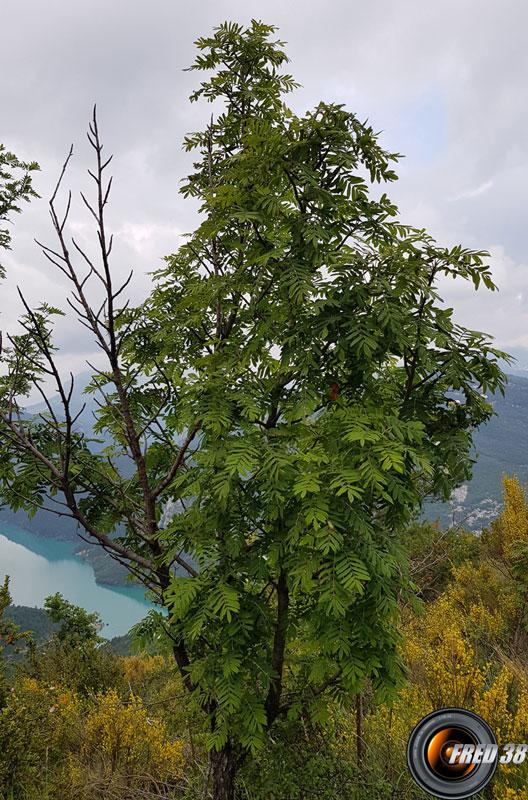 Cormier arbre