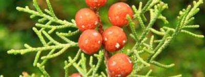 Genevrier de phenicie fruits